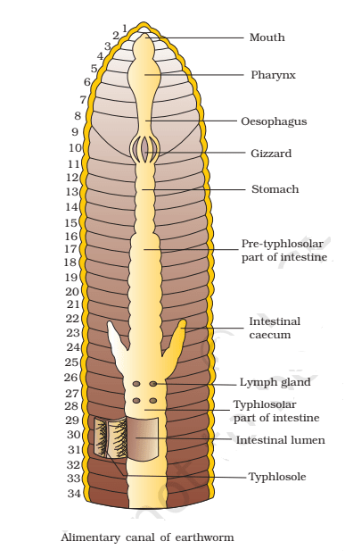 alimentary canal of earthworm - Digestive System of Earthworm