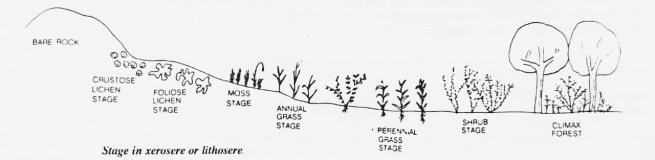 stage in lithosere 1024x250 - Ecological Succession or Biotic Succession