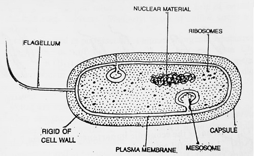 structure of a typical bacterial cell - Morphology of Bacteria