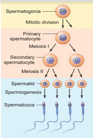 Spermatogenesis Process - Spermatogenesis Process