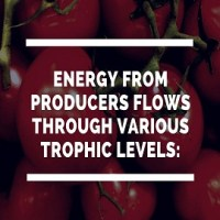 Energy from Producers flows through various Trophic Levels