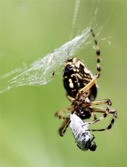 Araignées (8) (Medium)