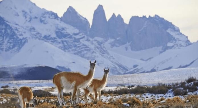 Photo Friday: Vicuñas in the Glaciers of the Andes - GlacierHub