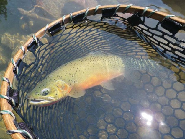 native westslope cutthroat trout