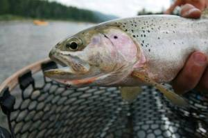Fly Fishing Glacier National Park, Westslope Cutthroat Trout