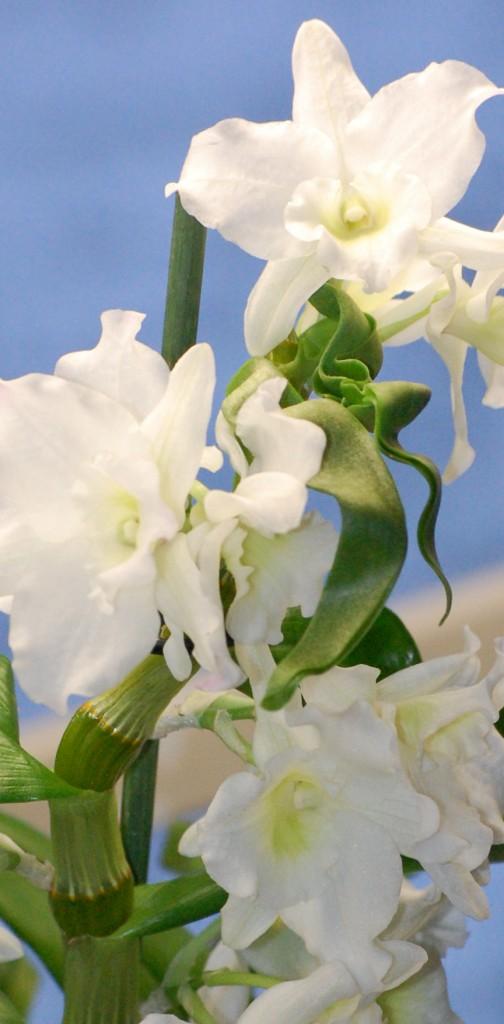 Dendrobium nobile Vinterdendrobium (2)