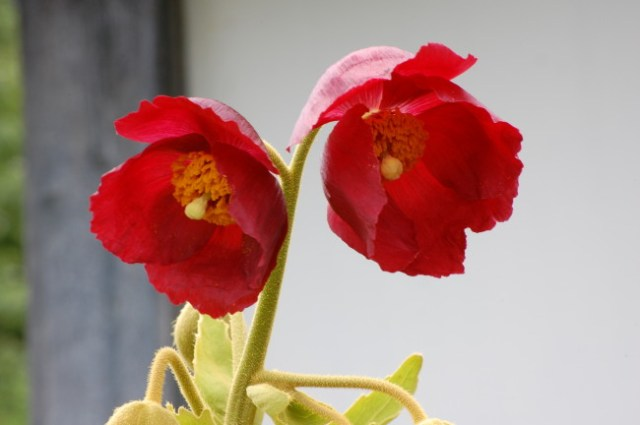 Meconopsis napaulensis vinröd