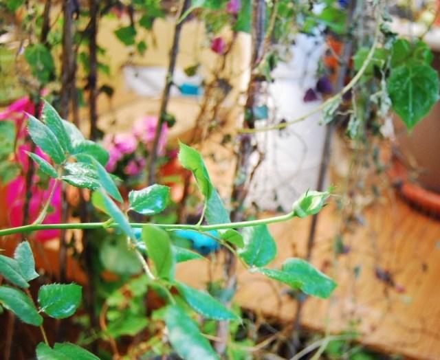 Rosenknopp mitt i vintern