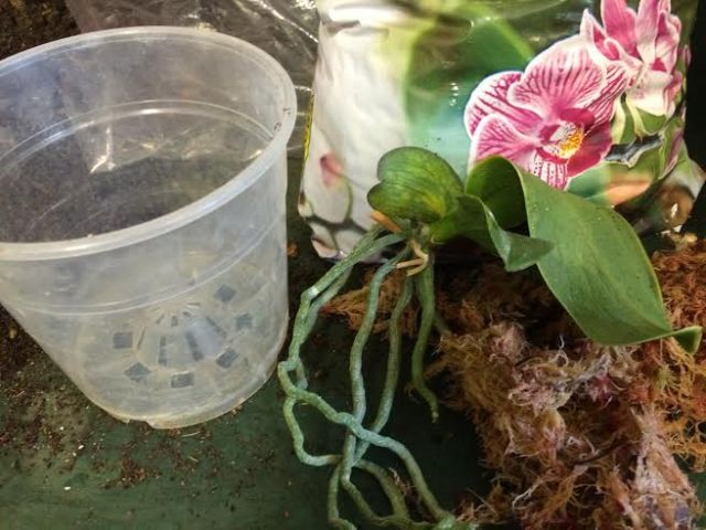 Plantera keiki , orkideskott i vitmossa