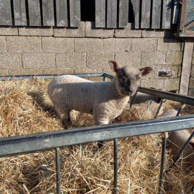 Lamb on top