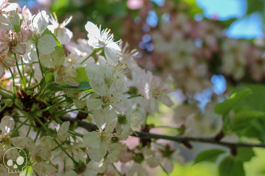 jardin cerisier