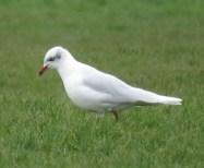 06feb17-med-gull-rest-bay