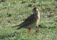 03Apr17 Skylark at Sker and Pink Bay
