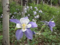 Columbines, Golden Gate State Park, CO.