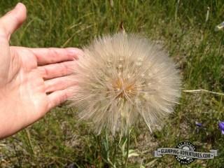 Huge dandelion-type flower. Indian Peaks Wilderness.