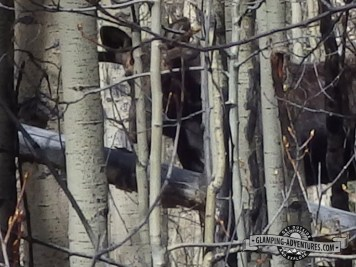 Moose in the aspens. Kenosha Pass, CO
