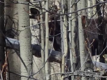Moose in the aspens. Kenosha Pass, CO