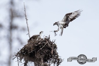 Osprey nest Steamboat Lake State Park.