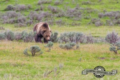 Grizzly bear, YNP