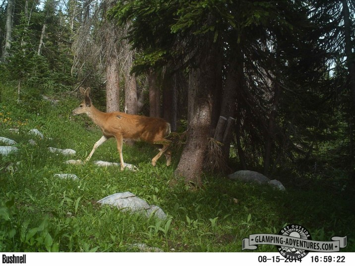 Trailcam at campsite. Look at the scar on the deer!