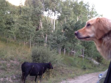 Daisy trying to make friends with the free range cows. Steamboat Lake, CO.