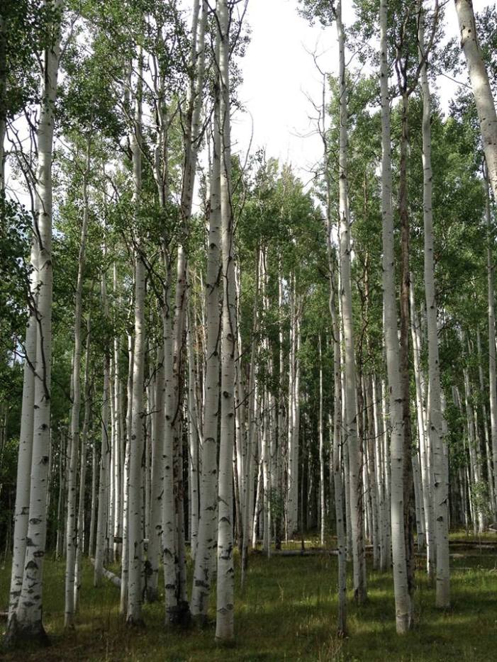 Biggest aspens ever! Steamboat Lake, CO.