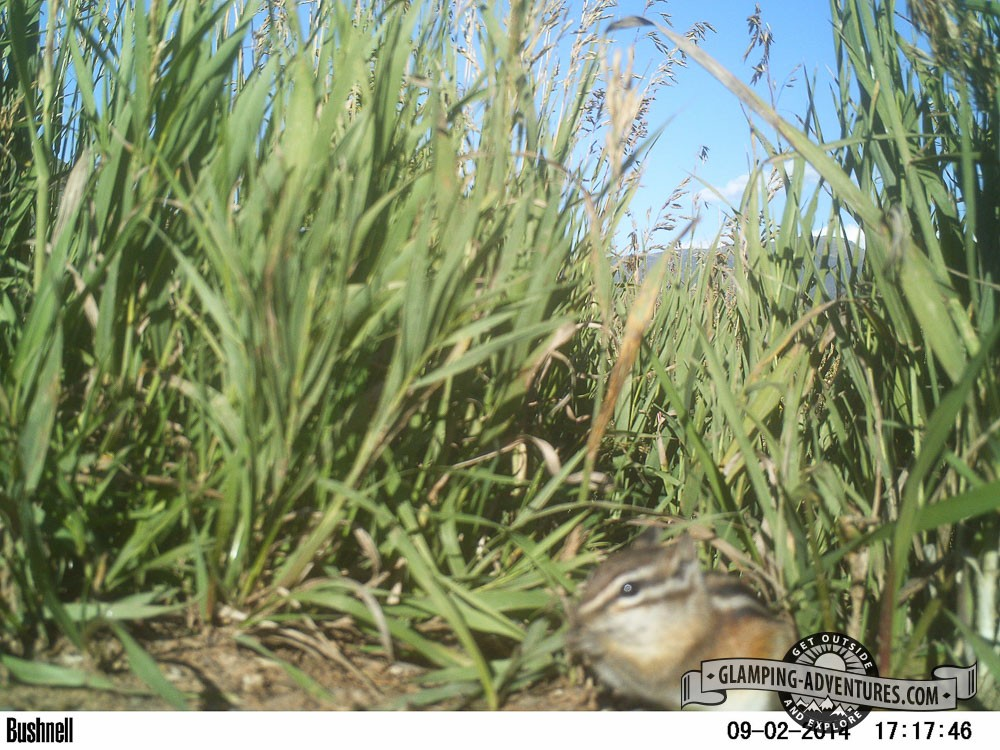 Chipmunk caught on the trail cam. Steamboat Lake, CO.