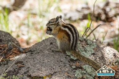Chipmunk. CO Trail. Kenosha Pass, CO.
