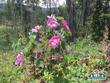 Wild Roses. Lost Lake Trail, Vail CO.