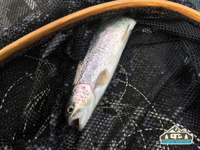 Rainbow Trout. Grand Mesa CO.