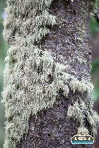 Bearded Lichen on a pine tree. Cobbett Lake CG, Grand Mesa CO.