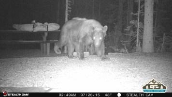 3. Bear walking through our site.