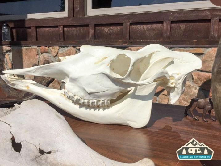 Moose skull. State Forest State Park.