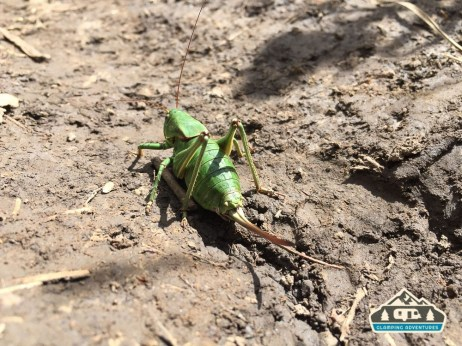 Giant grasshopper along, Kilpacker Trail.
