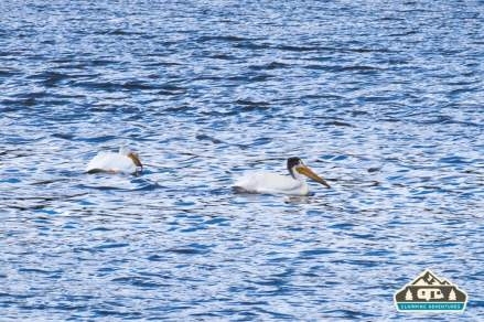 Dozens of White Pelicans on the lake. Manitou Recreational Area, CO.