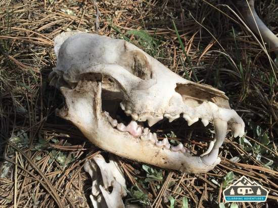 Coyotee skull. Manitou Experimental Forest.