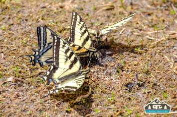 Beautiful Western Tiger Swallowtail puddling. Near Arapaho Bay, CO.