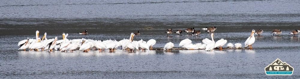 White Pelicans. Stillwater C.G., Lake Granby, CO.
