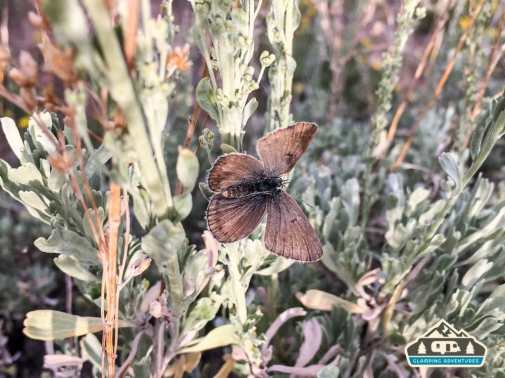 Brown butterfly. Heaton Bay C.G., Colorado.
