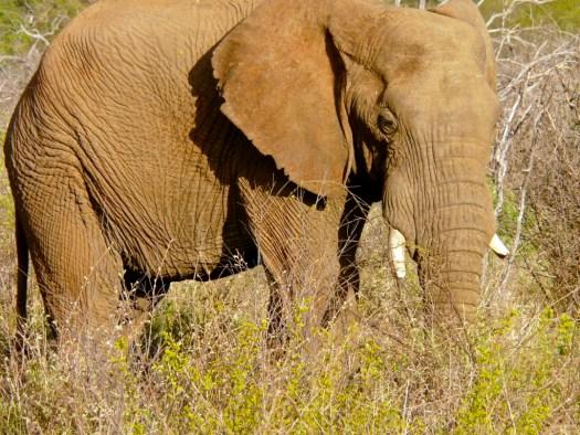 safari-elephant