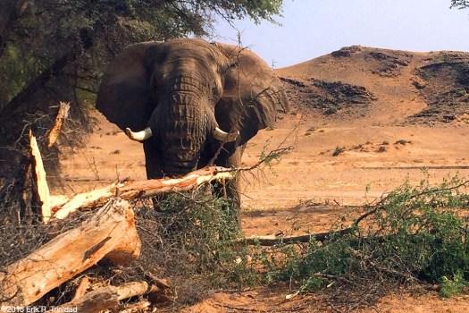 lone_bull_elephant