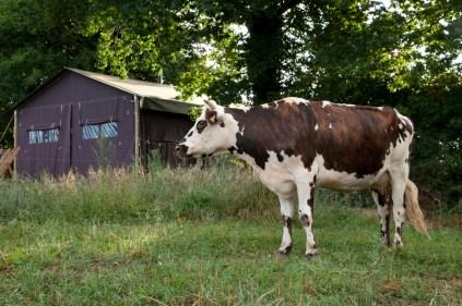 Tente et vache au glamping Un lit au Pré à La Ferme de La Folivraie à Louvières en Basse-Normandie