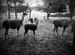 Lamas au glamping La Cabane du Lamas à Montignac de Lauzun en Aquitaine