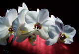 Weisse Orchidee - Glarean Magazin