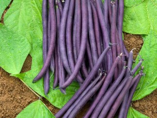 French Dwarf Beans