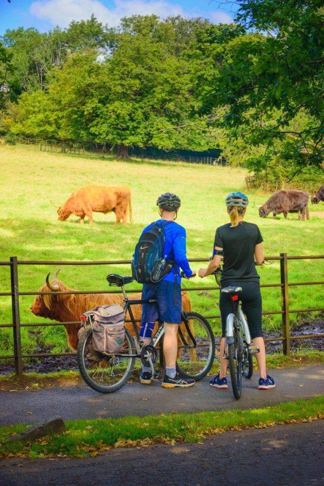 Glasgow Pollok park highland cows