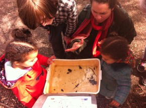 As well as the usual boatmen, pond skaters and larvae, we found lots of newts!