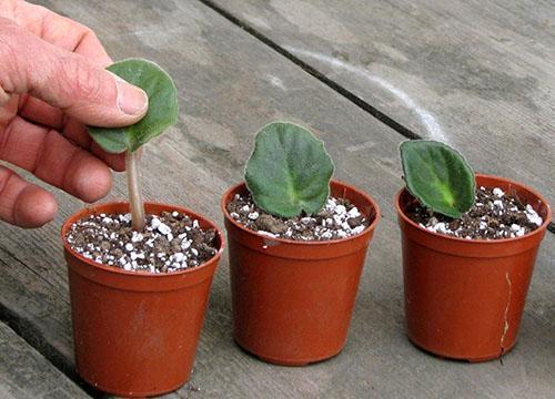 Как укоренить лист фиалки в воде и земле советы и рекомендации цветоводов