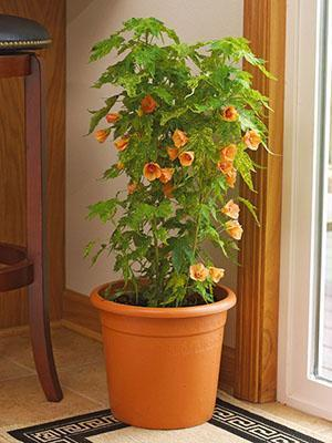 Home flower Abutilon