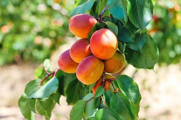Абрикос Краснощекий: отзывы, фото, описание сорта. Абрикос Краснощекий – неприхотливый сорт с высокой урожайностью